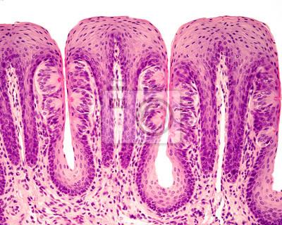 Geschmacksknospen leinwandbilder • bilder Histologie, Mikroskopie ...