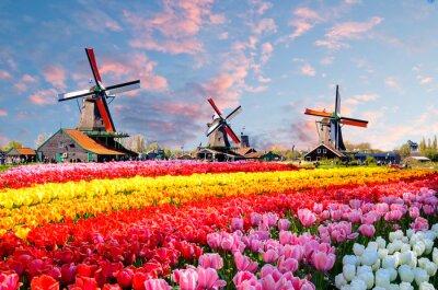 Bild Gestalten Sie mit Tulpen, traditionellen niederländischen Windmühlen und Häusern nahe dem Kanal in Zaanse Schans, die Niederlande, Europa landschaftlich