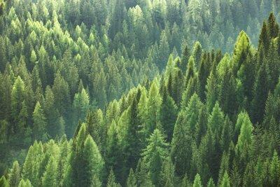 Bild Gesunde grüne Bäume in einem Wald von alten Fichte, Tanne und Kiefer