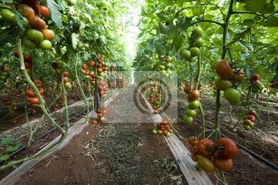 Gewachshaus Fur Tomaten Sizilien Italien Leinwandbilder Bilder