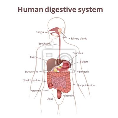 Gi-trakt-organe leinwandbilder • bilder Milz, Pankreas, Speiseröhre ...
