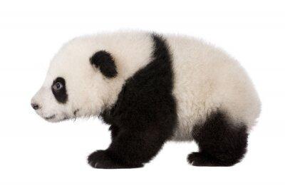 Bild Giant Panda (4 Monate) - Ailuropoda melanoleuca