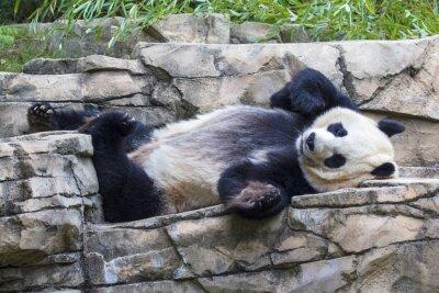 Bild Giant panda bear napping at the National Zoo in Washington, DC.