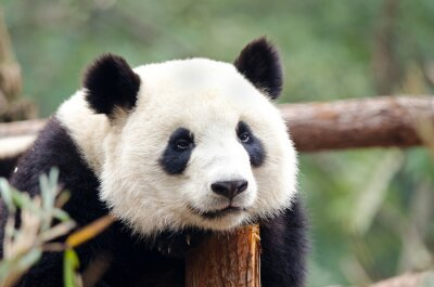 Bild Giant Panda - Sad, Tired, Bored looking Pose. Chengdu, China