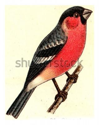 Bild Gimpel, Jahrgang gravierte Darstellung. Aus dem Deutch Birds of Europe Atlas.