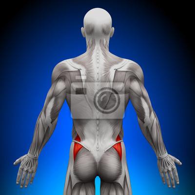 Glutes medius - anatomie muskeln leinwandbilder • bilder deltoid ...