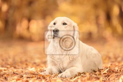 Bild Golden Retriever Hund Im Herbst Park Entspannen