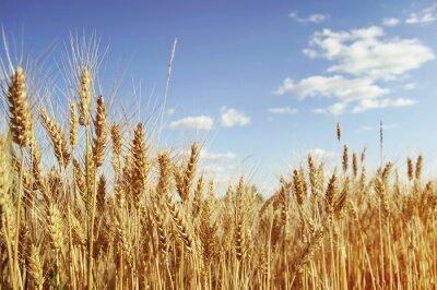 Bild Golden wheat field