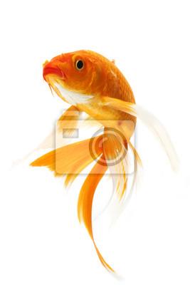 Bild Goldene Koi Fish