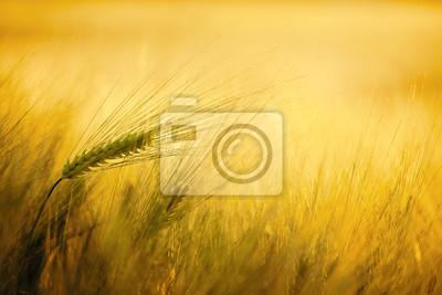 Goldene Weizen Traum