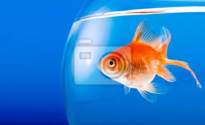 Bild Goldfisch
