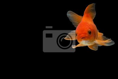 Bild Goldfisch im Hintergrund schwarz