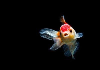 Bild goldfish isolated on a dark black background