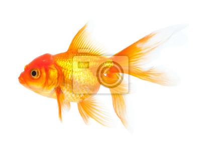 Bild Goldfish isolated on white background