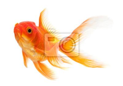 Bild Goldfish isoliert über weißem Hintergrund