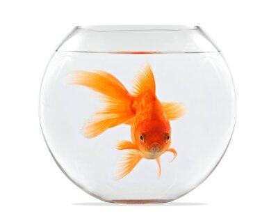 Bild Goldfish schwimmt in Glaskugel und auf einem weißen Hintergrund