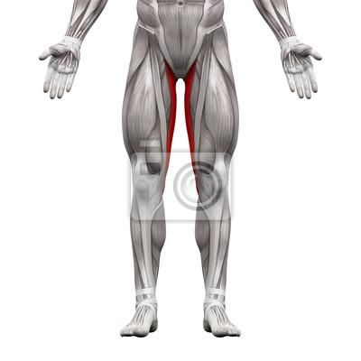 Gracilis muskel - anatomie muskeln isoliert auf weiß leinwandbilder ...