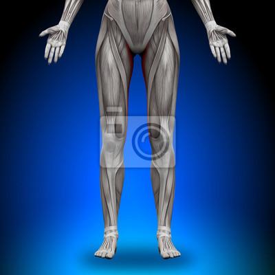 Gracilis - weibliche anatomie muskeln leinwandbilder • bilder ...