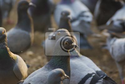 Graue Tauben