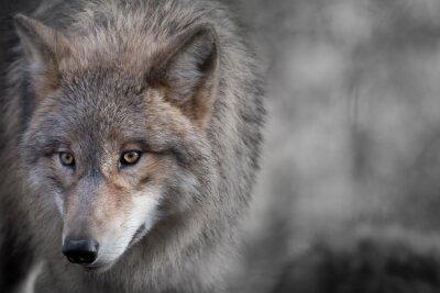 Bild Grauer Wolf Porträt 4