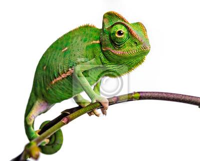Bild green chameleon - Chamaeleo calyptratus