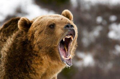 Bild Grizzly Bear