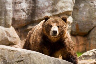 Bild Grizzlybär