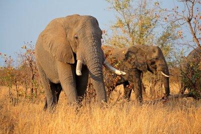 Bild Große afrikanische Stierelefanten (Loxodonta africana), Kruger Nationalpark, Südafrika.