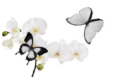 Bild große weiße Orchideenblüten und zwei Schmetterlinge