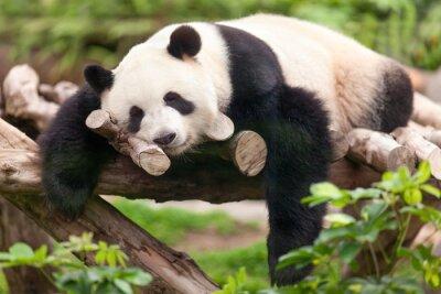 Bild Großer Panda