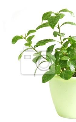 Bild Grün Zierpflanze. Isoliert auf weiß.
