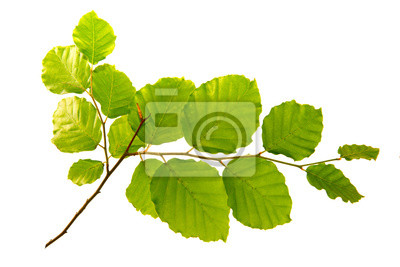 Bild Grüne Blätter isoliert auf weißem Hintergrund.