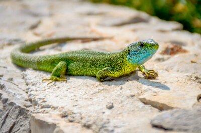 Bild Grüne Smaragd Gecko Eidechse Sonnenbaden auf einem Felsen