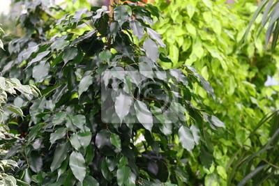 Bild grünen Blätter der Zierpflanze durch Wohnung