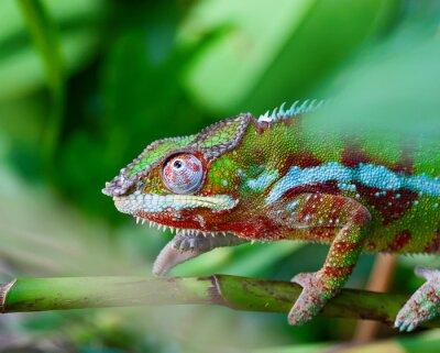 Bild Grünes Chamäleon