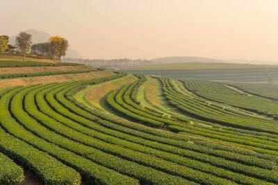 Bild Grüntee-Farm-Muster in den Morgen