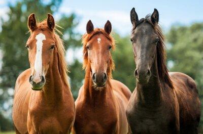 Bild Gruppe von drei jungen Pferden auf der Weide