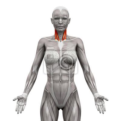 Hals muskeln - sternal kopf und klavikularkopf - anatomie muskel ...