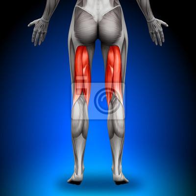 Hamstrings - female anatomy muscles leinwandbilder • bilder deltoid ...