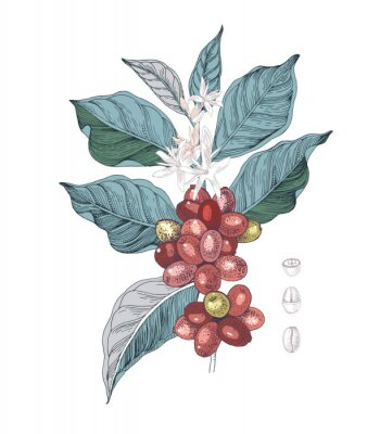 Bild Hand drawn illustration of Coffee branch with seeds, fruits and flowers. Sketched coffee plant