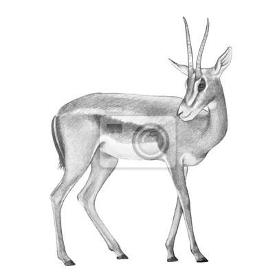 Bild hand drawn pencil sketch of Africa gazelle deer with curved horns, fast wild animal, zoo or African safari antelope, animal illustration, Speke's Gazelle