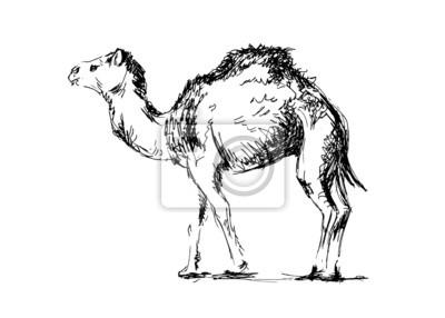 Handzeichnung ein Kamel. Vektor-Illustration