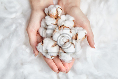 Bild Heap of white cotton flowers in the gentle hands of woman