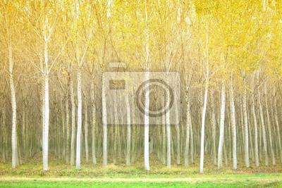 Herbst Pappeln