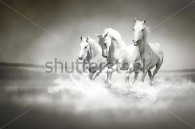Bild Herde von weißen Pferden, die durch Wasser laufen