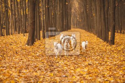 Herde von Ziegen zu Fuß durch den herbstlichen Wald