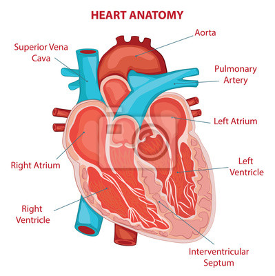 Herz anatomie querschnitt diagramm leinwandbilder • bilder Vene ...