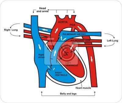 Herz-kreislauf-system leinwandbilder • bilder pulmonalen, Atrium ...