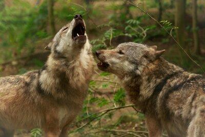 Bild Heulende Wölfe