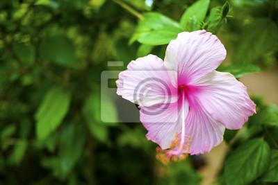 Bild Hibiscus Blume Großansicht